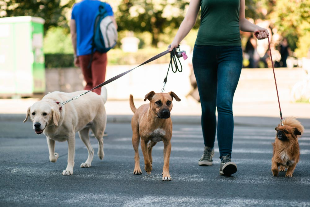 2018 Average Dog Walker Cost With Local Prices Homeguide